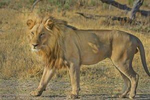 lion-515030_1920 (1)